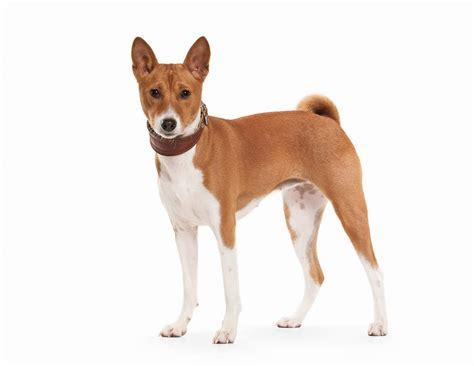 basenji shedding puppy coat basenji dogs breed information omlet