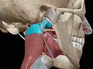 Anatomy And Physiology  The Pharynx And Epiglottis