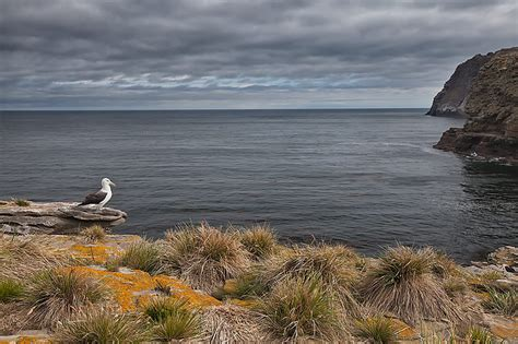 Perched On The Cliff Edge Overlooking The Sea by Falkland Islands South Antarctica November