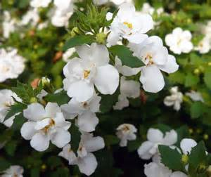 Double Flowers Bacopa Plant