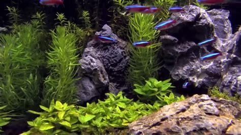 aquascaping tips aquascape tips cardinal neon in an aquascape tetra