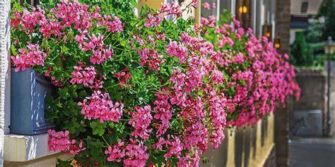 terrazzo in fiore gerani da manuale cose di casa