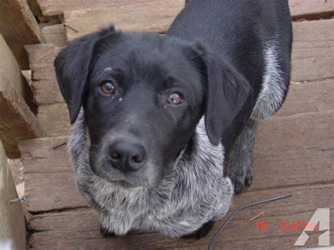 Blue Heeler Lab Mix Shedding by Related Keywords Suggestions For Lab Heeler Mix