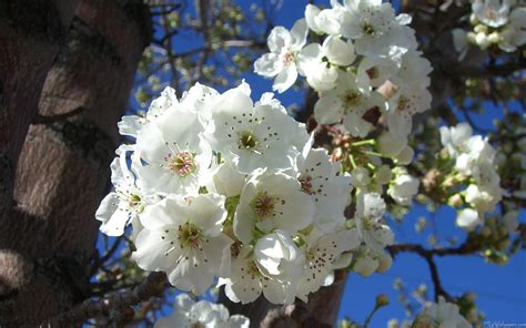 tree with white flower mlewallpapers com white blossoms i