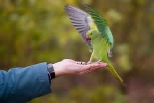 Durée De Vie D Une Perruche by Perruche 224 Collier Rose Ringed Parakeet La Perruche 224