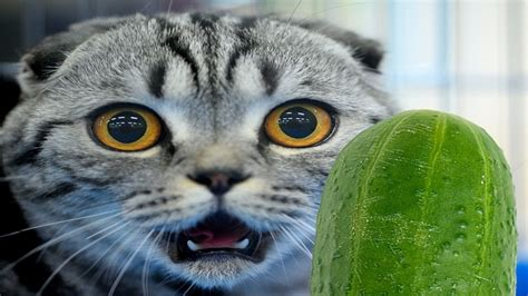 cats cucumbers afraid why