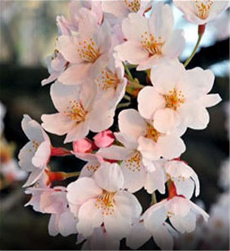 flowering japanese cherry buy affordable yoshino cherry trees at our online nursery