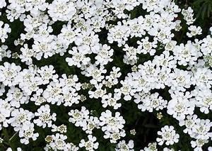Weiß Blühende Stauden : fr hbl her 06 iberis sempervierens schleifenblume zeitig bl hende staude weisse bl ten april ~ Watch28wear.com Haus und Dekorationen