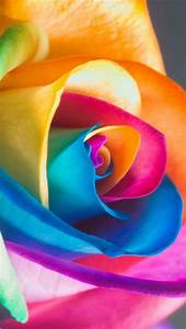 Colorful Rose Iphone 5 Wallpapers Downloads