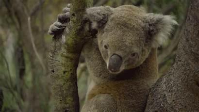 Gumnut Koala Eucalyptus Leaves Conan Intervention Gifs