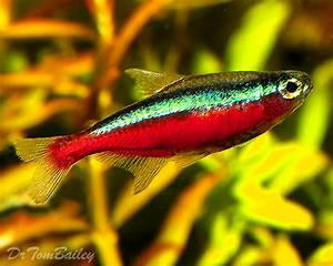 Neon Tetra for Sale AquariumFish