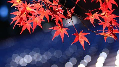 japanese maple leaves bokeh  hd desktop wallpaper