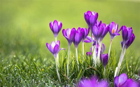 purple flowers crocus desktop wallpaper hd wallpaperscom