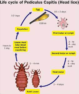Life Cycle of a Head Louse images