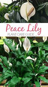 The 25 best peace lily plant ideas on pinterest peace for Peace lily in bathroom