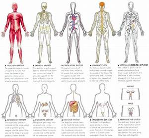 The Body System Diagram