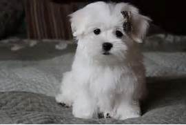 Pics Photos - Amazing Teacup Maltese Puppies For Sale  Black Teacup Maltese Puppies