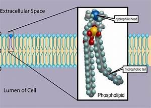 Phospholipid Vs  Glycolipid
