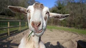 7 Reasons Your Homestead Needs Goats  U2013 Not Cows