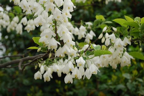a tree with white flowers white flowering trees savingourboys info
