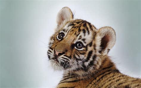Dangerous Animal Wallpaper - animals tiger wallpapers dangerous animals