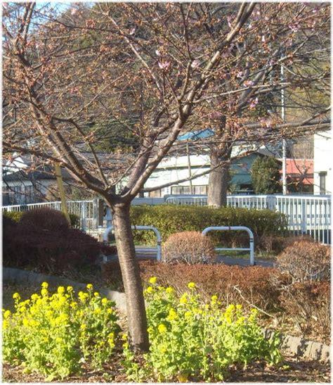 河津 桜 原木 の 苗 が 見つかっ た の は どこ