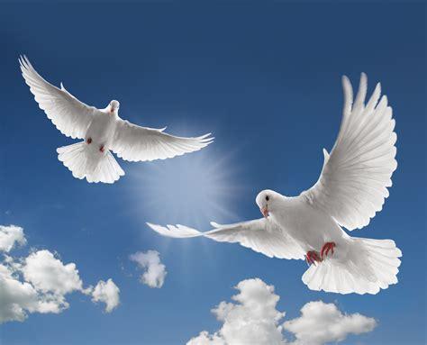 dove white funeral dove release fort lauderdale funeral dove release