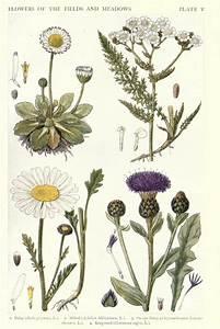 Botanical  U2013 New British Herbal  U2013 Flowers Of Fields And