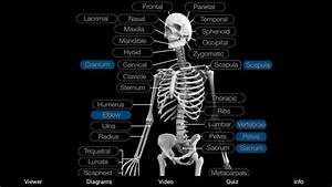 Skeletal Anatomy 3d