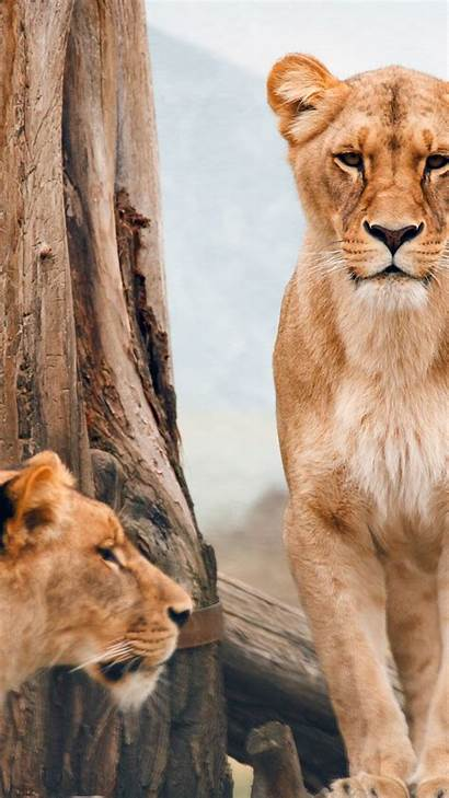 Animals Wild Lioness African Nature Wallpapers 4k