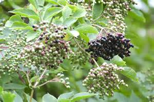 How to Plant Elderberry Bushes