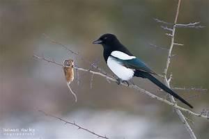 Elster Vogel Vertreiben : diebische elster forum f r naturfotografen ~ Lizthompson.info Haus und Dekorationen