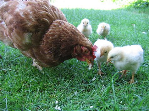 Filehen With Chickens In Native Breedingjpg Wikimedia