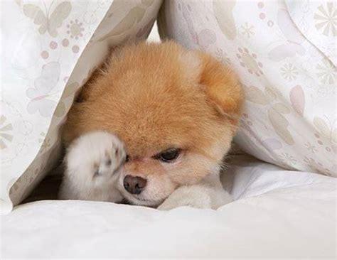 Boo — The World's Cutest Dog Ritemail