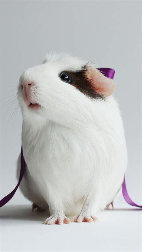 wallpaper hamster cute hamster white close  purple