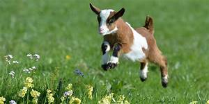 Cute baby goats jumping - Compilation - YouTube