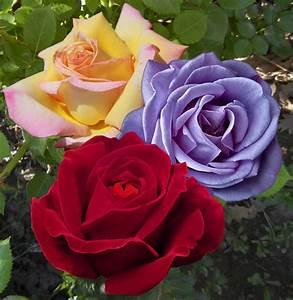 Rosen Kaufen Günstig : kollektion rosen gro blumig und duftend kaufen g nstig bestellen f r ~ Markanthonyermac.com Haus und Dekorationen