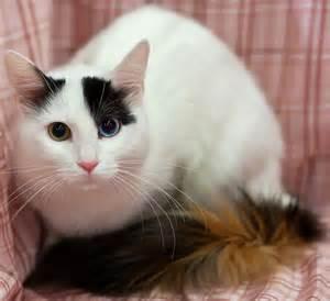 turkish cats turkish anatolian cat