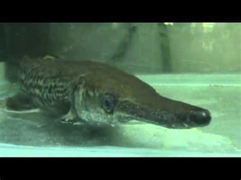 alligator gar  fancy aquarium city youtube