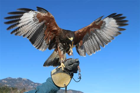 Falconry at The Broadmoor Resort in Colorado Springs