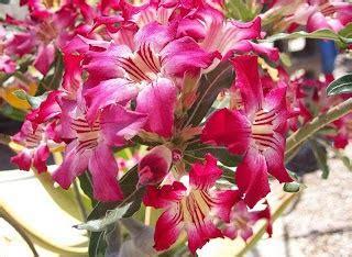 klasifikasi tanaman bunga kamboja klasifikasi tanaman