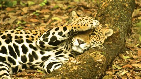 Poblaciones De Jaguares Han Disminuido En Los últimos 50