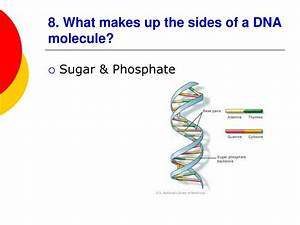 What Molecules Make Up The Sides Of The Dna Ladder