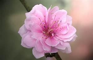 Cherry Blossom Flower - MFORUM