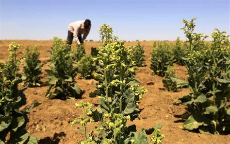 Tobacco Production in Sudan