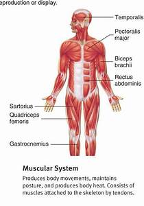 How Muscular System In Our Body Works
