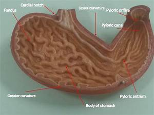FHS 121 E-LAB | Yeditepe University Anatomy E-Lab for ...  Stomach