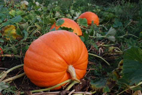 pumpkin the go pumpkin picking in morris county nj new jersey real estate advice by re max realtors
