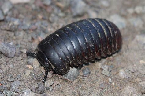 Pill Millipede (glomeris Connexa) -- Borneo_3587