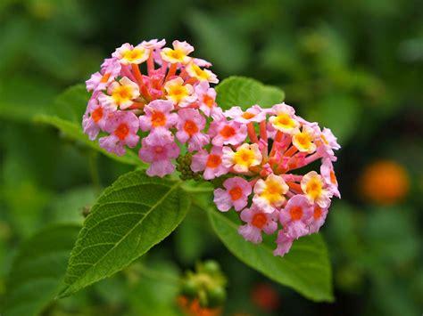lantana plant flower homes lantana flowers